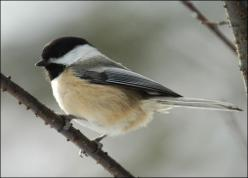 Black-capped Chicadees - used to see them all the time in New England.  Fall visitors here, they are beautiful little songbirds that are very friendly, not shy, and fun to watch.: Animals, Watch, Beautiful, Black Capped Chicadees, Songbird, Favorite Bird,