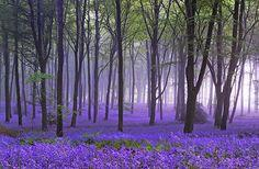 ~~ Bluebells ~~ / ATTRACTS: Hummingbirds. Plant with Flowering Dogwood Tree which attracts Downy Woodpeckers.: Beautiful Flowers, Blue Bells, Blue Flower, Dogwood Trees, Flowers Garden, Favorite Flower