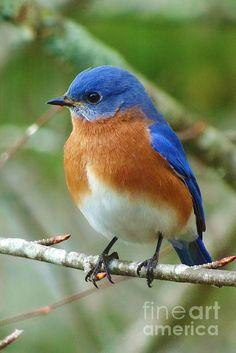 Bluebird On Branch - one of my fave North American birds.: Birds Bluebird, American Birds, Birdie, Beautiful Birds, Blue Birds, Birds Bluejays Bluebirds, Branches