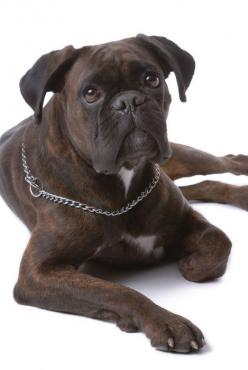 boxer dog - photo/picture definition - boxer dog word and phrase image: 3 Dogs, Dogs Other Animals, Boxers Dogs, Boxerdogs, Boxer Sooooo Pretty, Brindle Boxer Dogs, Boxers 3, Dog Word, Photo Picture Definition