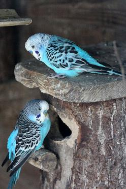 Budgies Budgies are such unappreciated little birds.  Go home and love your budgie!: Blue Budgies Ka, Poultry, Pet Birds, Beautiful Birds, Blue Budgies P P, Budgies Birds, Birds Pets, Animal
