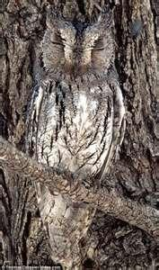 camouflage, stealth, amazing aerial abilities & great intelligence ~ the owl is a master of its domain!!!: Animals, Nature, Tree, Hidden Owl, Awesome Owl, Camouflaged Owl, Camoflauge Animal, Birds, Owls