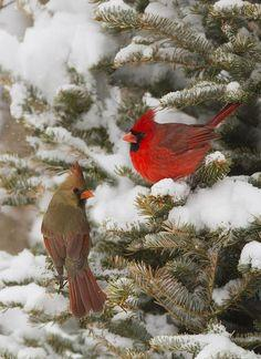 Cardinals: Animals, Female Cardinal, Beautiful Birds, Cardinal Couple, Favorite Bird, Red Birds, Cardinals
