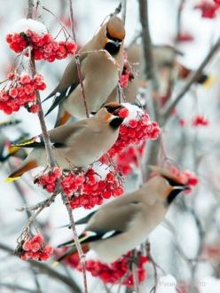 Cedar Waxwing: Animals, Cedarwaxwings, Nature, Wax Wing, Winter Wonderland, Beautiful Birds, Winter Birds