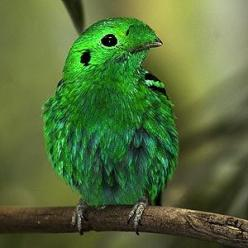 Click here to see a bunch of awesome naturally colorful animals!: Green Broadbill, Colorful Birds, Animals, Color Green, Lesser Green, Pretty Birds, Beautiful Birds