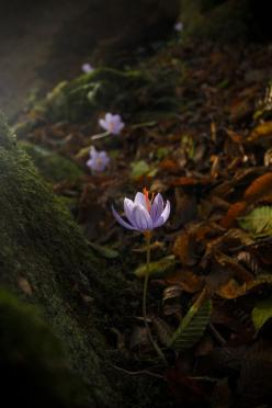 Colchicum speciosum (autumn crocus) - a wonderful fall-blooming bulb for the woodland edge (photo by Evan Karageorgos, Greece): Enchanted Forest, Wild Flower, Gardens Flowers Woods Trees, Nature, Art, Greece, Beautiful Flowers, Photography