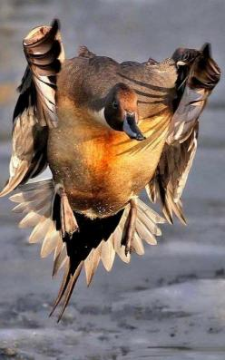 Duck in flight..: Cautious Landing, Flight, Duck Hunting, Animal Photography, Ducks, Timed Animal, Birds, Perfectly Timed Photos
