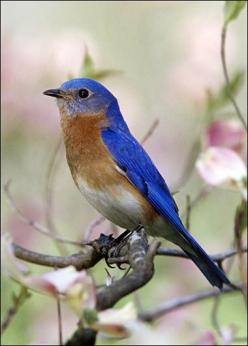 EASTERN BLUEBIRD  Sialia sialis    Bird Spotting: True to its name the male eastern bluebird is colored a brilliant blue along its back, wings and tail. The chest is reddish orange. Females are similar in appearance, but not quite as bright.: Bluebirds, U