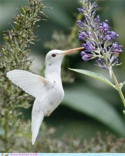 Fifteen-year-old photographer Marlin Shank was fortunate enough  To capture several images of a rare albino ruby-throated  Hummingbird while in a park in Staunton , Va: Humming Birds, Albino Animals, Albino Ruby Throated, Rare Albino, Beautiful Birds, Alb