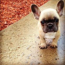 frenchies <3: Face, Animals, French Bulldogs, Pet, Frenchbulldogs, French Bulldog Puppies