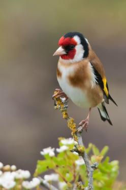 Goldfinch is one of most beautiful bird  -You may like video: https://www.youtube.com/watch?v=EygYGyCcoJ0: Birds Beauty, Aves Birds, Beautiful Birds, Animals Birds, European Goldfinch