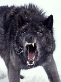 Google Image Result for http://www.thegunmag.com/wp-content/uploads/2012/07/Wolf.jpg: Insanity Wolf, Animals, Black Wolf, Wild Dogs, Animal Kingdom, Wolf, Angry Animal, Black Wolves