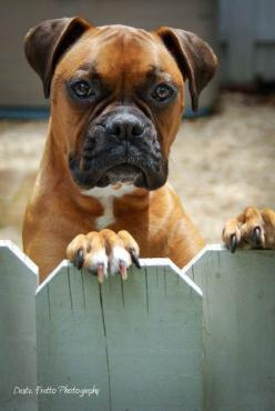Handsome Kona boxer ♡... re-pin by StoneArtUSA.com ~ affordable custom pet memorials for everyone.  See DOGS and FENCES BOARD http://www.pinterest.com/stoneartusa/~-dogs-fences-~/: Boxer Dogs, Animals, Animal Stuff, Boxers Dogs, Photo Sharing, Boxer Beaut