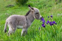He's not a puppy or a kitty, but baby donkeys are pretty darn cute too.: Babies, Baby Donkey, Mini Donkey, Donkeys, Adorable, Baby Animals, Photo, Flower