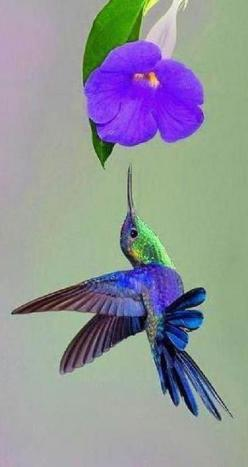 Hummingbird & Morning Glory: Humming Birds, Humming-Bird, Hummingbird, Beautiful Birds, Hummingbirds, Humming Bird, Animal, Purple Flower