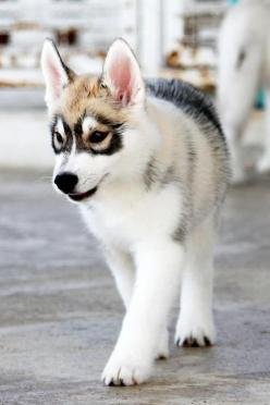 Husky with the dusky eyes: Animal Pictures, Cutest Animals, Raccoon Dog, Huskies Puppies, Friend, Eye