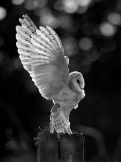 I adore owls. Nobody will understand my love for them.: Animals, Nature, Pat Killelea, Beautiful, Children, Barnowl, Photo, Birds, Barn Owls