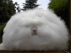 I can't believe Angora rabbits actually look like this.: Animals, Bunny, Creature, Pet, Angora Rabbits, Funny, Bunnies, Hair