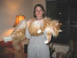 I hope Romeo doesn't get THIS big: Big Cats, Animals, Maine Coon, Pets, Fat Cat, Funny, Kitty, Coon Cat, Mainecoon