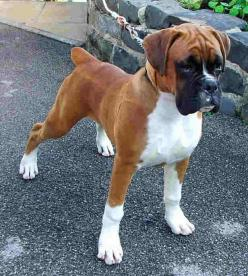 LOOK AT THIS BABY....HE THINKS HE IS SO BIG AND TOUGH!  Beautiful Boxer: Handsome Guy, Boxer Puppies, Boxer Dogs And Puppies, Affectionate Dogs, Boxers, Beautiful Dogs, Animal