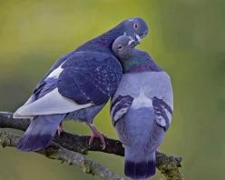 Love is cute.... Sometimes--but these pigeons are too stinkin' cute: Animals, Nature, Purple, Beautiful Birds, Where, Photo