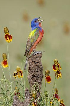 Male  Painted  Bunting #bird