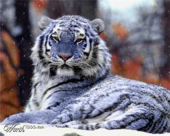 """Maltese """"blue"""" tiger: The South, Animals, Big Cats, Chinese Subspecies, Maltese Tigers, Blue Tigers"""