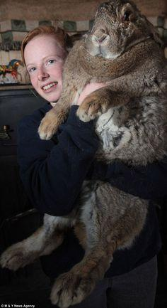 Me iz a big bunny wabbit!   King rabbit: Cindy Winson, 17, struggles to hold her record-breaking monster rabbit Ralph with his huge Hobbit-like feet. He is believed to be the biggest bunny in the country: Biggest Bunny, Giant Rabbit, Big Rabbit, Pets, Big
