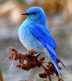 Mountain Bluebirds are migratory. Their range varies from Mexico in the winter to as far north as Alaska, throughout the western U.S. and Canada.: Birds Bluebird, Animals, Beautiful Birds, Bird Mountain Bluebird, Blue Birds, Birds Bluejays Bluebirds, Ave,