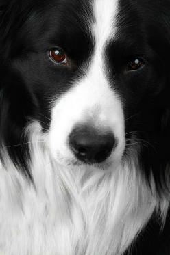 my other future dog (Border Collie): Border Collies, Animals, Dogs, Pet, Beautiful Border, Puppy, Friend