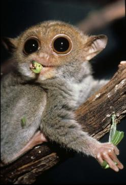 Philippine tarsier  I wanted one when I was little. =w=: Cute Animals With Big Eyes, Cat, Pets, Wildlife, Primates, Philippines, Monkey