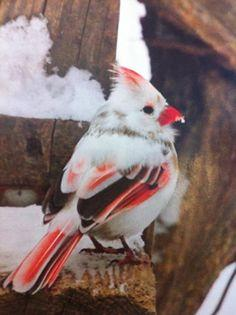 Rare and Beautiful female albino Cardinal (Americas) I have to find this bird: Albino Cardinal, Animals, Beautiful Birds, Beautiful Female, Cardinals, Albino Animal