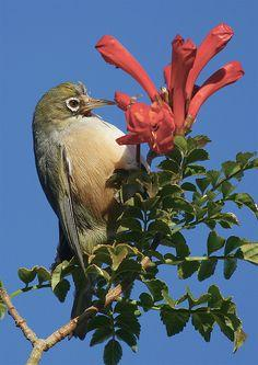 Silvereye in Soap Mallee #YorkePeninsula #SouthAustralia: Silvereye, Soap Mallee, White Eye, Beautiful Birds, Animal