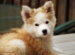 So here's the thing. We need to have these puppies all up in The Fall Thing. Everyone would love it. Kthanks: Animals, Golden Retrievers, Siberian Huskies, Husky Mix, Puppy, Dog, Retriever Husky, Golden Retriever