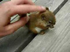 Sweet baby squirrel story: Animals, Humanity Restored, Sweet, Baby Squirrel, Pet Squirrel, My Heart, Squirrel Rescue