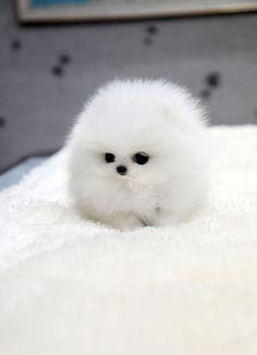TEACUP PUPPY: ★Teacup puppy for sale★ White teacup pomeranian Addel :): Cotton Ball, Animals, Teacup Pomeranian, Dogs, So Cute, Pet, Puppys, Box, Fluff Ball