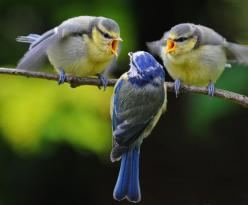 The Outsider  [always knew there was a reason I liked blue birds]#Repin By:Pinterest++ for iPad#: Animals, Nature, Funny, Beautiful Birds, Angry Birds, Photo