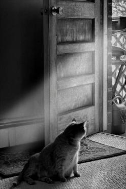 This reminds me of my cat, Christopher...He always waited by the door when I was on my way home from school!: Cat Photography, Kitten, Cats Cats Cats, Fat Cats, Fatcat, Floralgal, Feline, Animal, White Cat