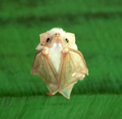 Tiny bat disapproves of your shenanigans.: Animals, Honduran Ghost, Nature, Honduran White, Ghosts, Baby Bats, Northern Ghost