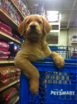 To the treats! Onward!!! lol so adorable, typical golden puppy being insanely cute ;)   ...........click here to find out more     http://googydog.com: Animals, Puppies, Dogs, Golden Retrievers, Pets, Puppy, Shopping, Friend, Treat