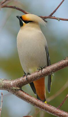 Waxwing  - such beautiful and unique birds!: Wax Wing, Mark Hancox, Cedar Waxwing, Beautiful Birds, Animal