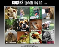 """If you have a boxer, you love a boxer.  It's just the way it is with these pups.  They are hard not to love. They are quirky, active, and funny. When they are not clowning around, wiggling their butts, or cuddling – they are probably getting into som"