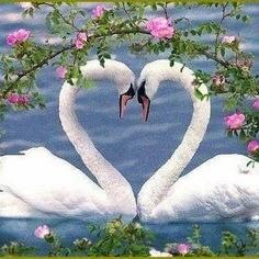 99% of swans only have one partner their their whole lifetime, if the mate dies the swan can pass away from a broken heart. Although, 1% has been observed to move on and find a new partner.: Animals, Swan Heart, Beautiful Birds, Things, Valentine, Beautif