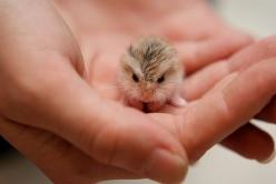 A baby dwarf hampster ahh so cute!: Babies, Dwarf Hamsters, Baby Owls, Pet, Adorable, Baby Animals, Baby Hamster, Babyowl