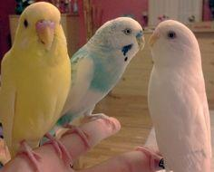 A quick and easy way to train a parakeet: Budgie Training, Budgie Birds, Bird Pet, Birds Pet, Budgies Parakeet, Finger Train, Trains