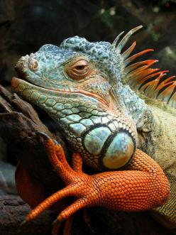 All dressed up and nowhere to go. Iguacu, Brazil.: Colour, Reptiles, Animals, Iguanas, Creature, Lizards