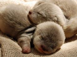 Baby otters: Babies, Adorable Animals, Otter Pups, Baby Otters, Baby Animals, Babyotters, Sea Otters