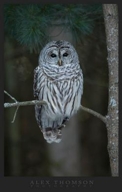 Barred Owl: Photos, Birds 12 Owls Ugglor, Animal Photography, Birds Owls, Barred Owl, Animals Birds, Animals 3, Alex O'Loughlin