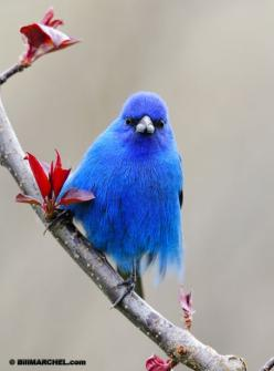 Beautiful blue bird :): Bluebirds, Animals, Beautiful Blue, Buntings, Beautiful Birds, Blue Birds, Indigo Bunting, Gorgeous Color