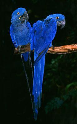 Beautiful blue parrots.  Oh My Goodness they are beauties.: Parrots, Color, Beautiful Birds, Blue Macaw, Animal